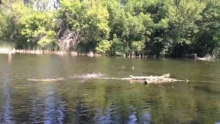 Курцхаар охота на утку  в воде_(1) Kurtzhaar duck hunting in the water