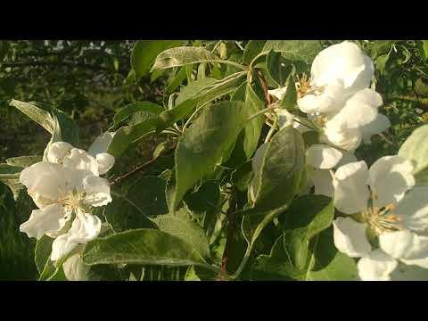 Яблони цветут- какое чудо!