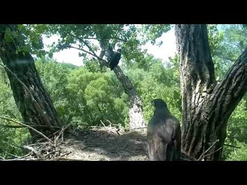Decorah Eagles Eaglet Returns 2 Nest, :-)  D30 6/17/18