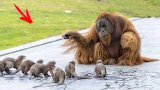 Орангутанги умирали от ОДИНОЧЕСТВА, тогда к ним подселили этих БАНДИТОВ! Вот, что дальше ПРОИЗОШЛО!