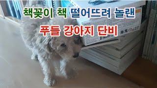 책꽂이 책을 떨어뜨려 놀랜 푸들 강아지 단비