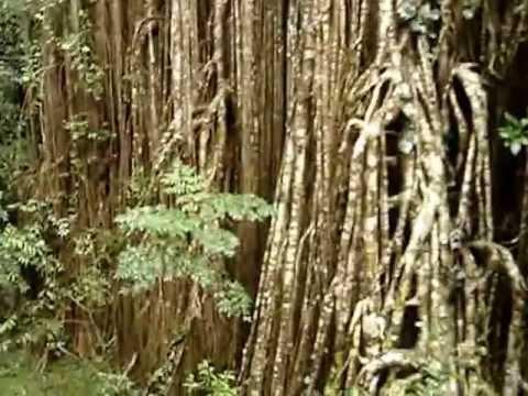 Curtain Fig Tree in Yungaburra Australia