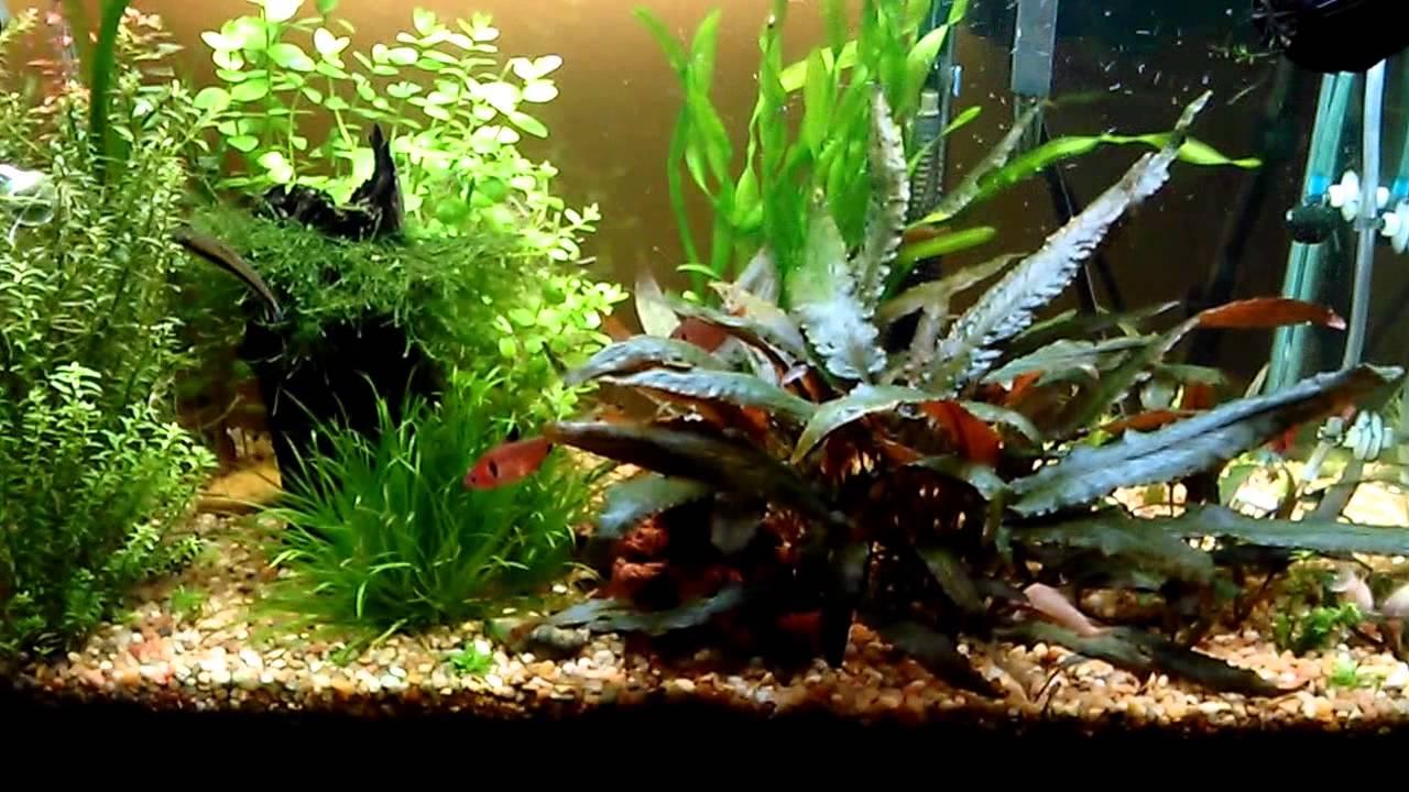 Copy of como mantener acuario de agua dulce con plantas for Cuidados acuario agua fria