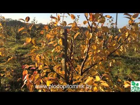 Поздние сорта груши Патен (Глубокская, Талгарская красавица, Белорусская поздняя)