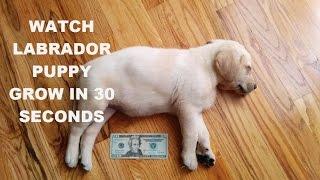 Watch a Labrador Puppy Grow in 30 seconds - #MikoTheLabradorNinja