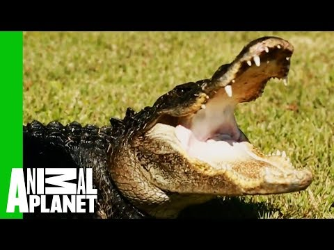 Huge 9 Foot Long Gator Rescued From Family Pond   Gator Boys