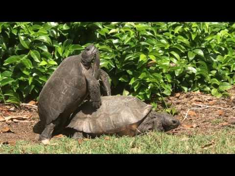 Gopher Tortoise Mating