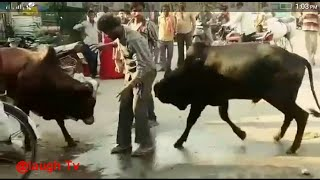 Cows beat him to back comedy video clip WhatsApp video crazy moment injoy people 2018#