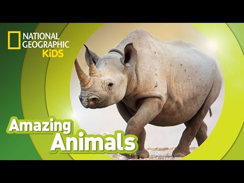 Black Rhino | AMAZING ANIMALS