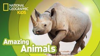 Black Rhino | Amazing Animals