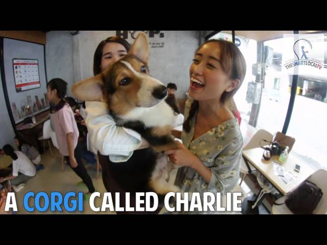 Corgi Dogs Found In BangKok's House Of Paws