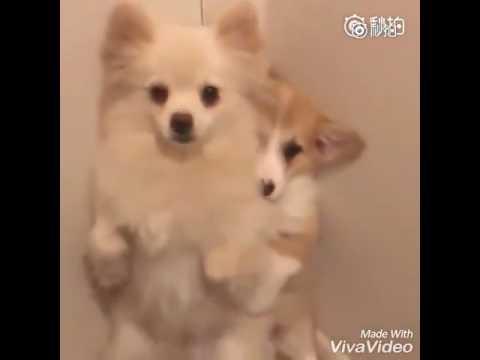 Lovely Corgi Pomeranian Dog Youtube