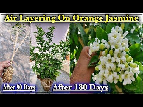 Orange Jasmine /