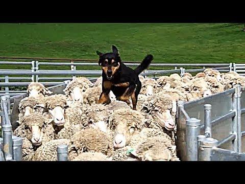 Супер умелые собаки, поэтому келпи - лучшая овчарка.