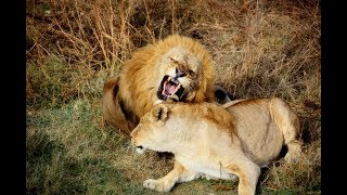Видео 18 + ! ЭТО  ЧТО-ТО  !!! Как львица Стерва соблазняла вожака ...,НО !!!