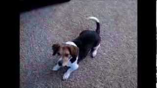 Turbo - Basset Hound/beagle Mix