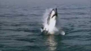 Great white sharks Eating Frenzies.