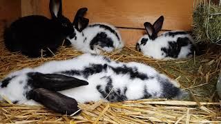 Hodowla królików- obchód po hodowli.