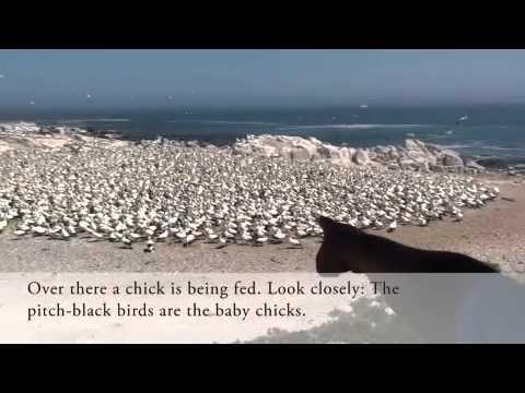 Cape Gannets at Lamberts Bay