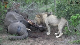 Gambar cover Big Lion Scavenging From An African Elephant