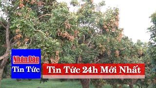 Tin tức 24h mới nhất hôm nay | Vùng cao Sơn La làm giàu từ cây nhãn