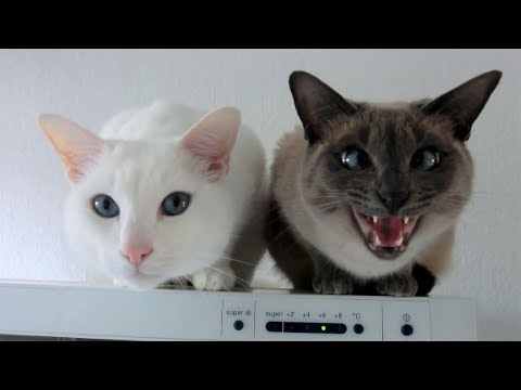 2 sweet Siamese cats talking and talking & wanting cuddle