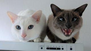 2 Sweet Siamese Cats Talking and Talking, wanting Cuddle & Attention (Otani & Yozora)