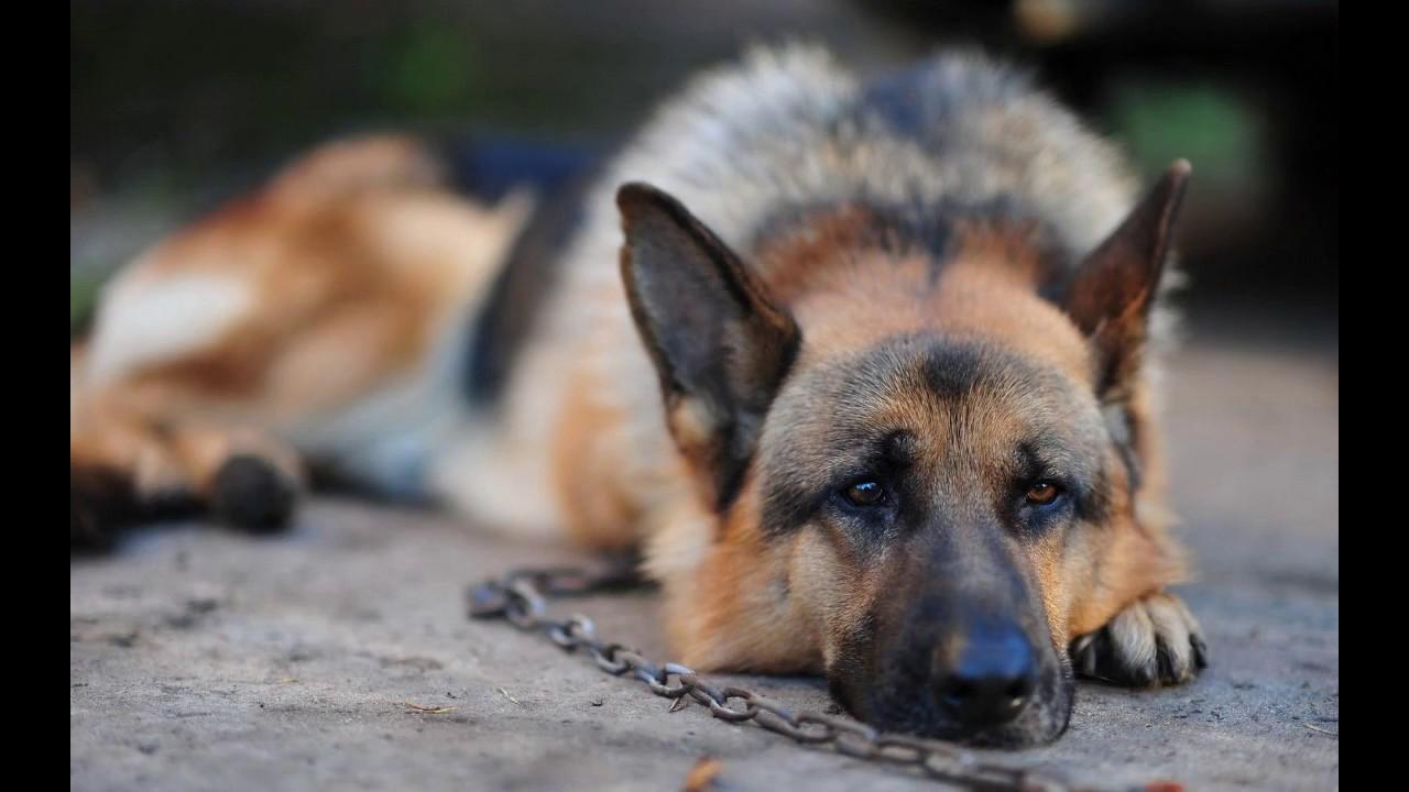 Почему собака воет ? Как отучить собаку выть?