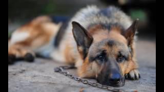 видео Почему воет собака? Как бороться с воем ночью, на луну, во дворе и дома