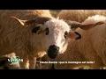 Le mouton Thônes et Marthod - Visites privées