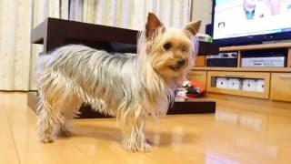 今回はショートムービー 我が家のヨークシャーテリア Yorkshire Terrier.