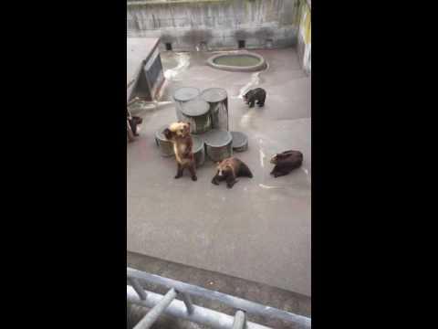Showa Shinzan Bear Park - feeding # 2