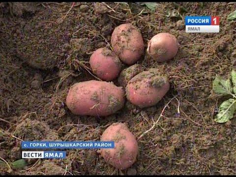 Вопрос: Сорт картофеля Беллароза (Белароза, Белая Роза) какие отзывы?
