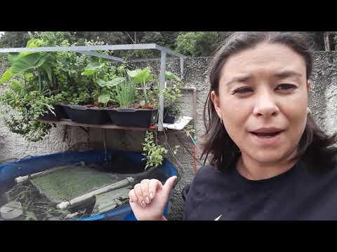 Criação de Tilapias em Caixa D'Agua - Aquaponia - Psicultura Urbana  - Curitiba Paraná Janeiro2020