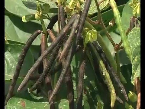 Successful greengram cultivation  prior to kharif rice in follos - experience of guntur farmer