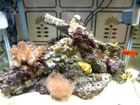 Oscellaris Clownfish Killing Banggai Cardinalfish