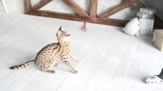 Домашний сервал питомника ROYAL CATS (ручные котята сервала с документами)