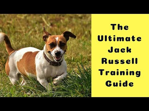 the-ultimate-jack-russell-training-guide-(how-to-train-a-jack-russell-puppy---step-by-step-guide)