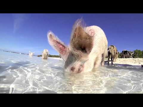 Exuma 2015 - Swimming Pigs Of The Caribbean