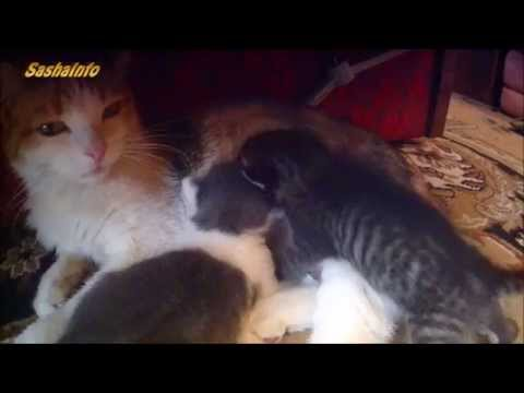 Котята сосут молоко у кошки