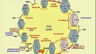 entry into tca kreb s cycle