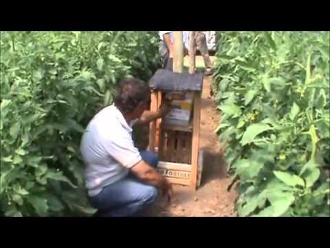 Polinización en tómate con abejorros (Bombus)
