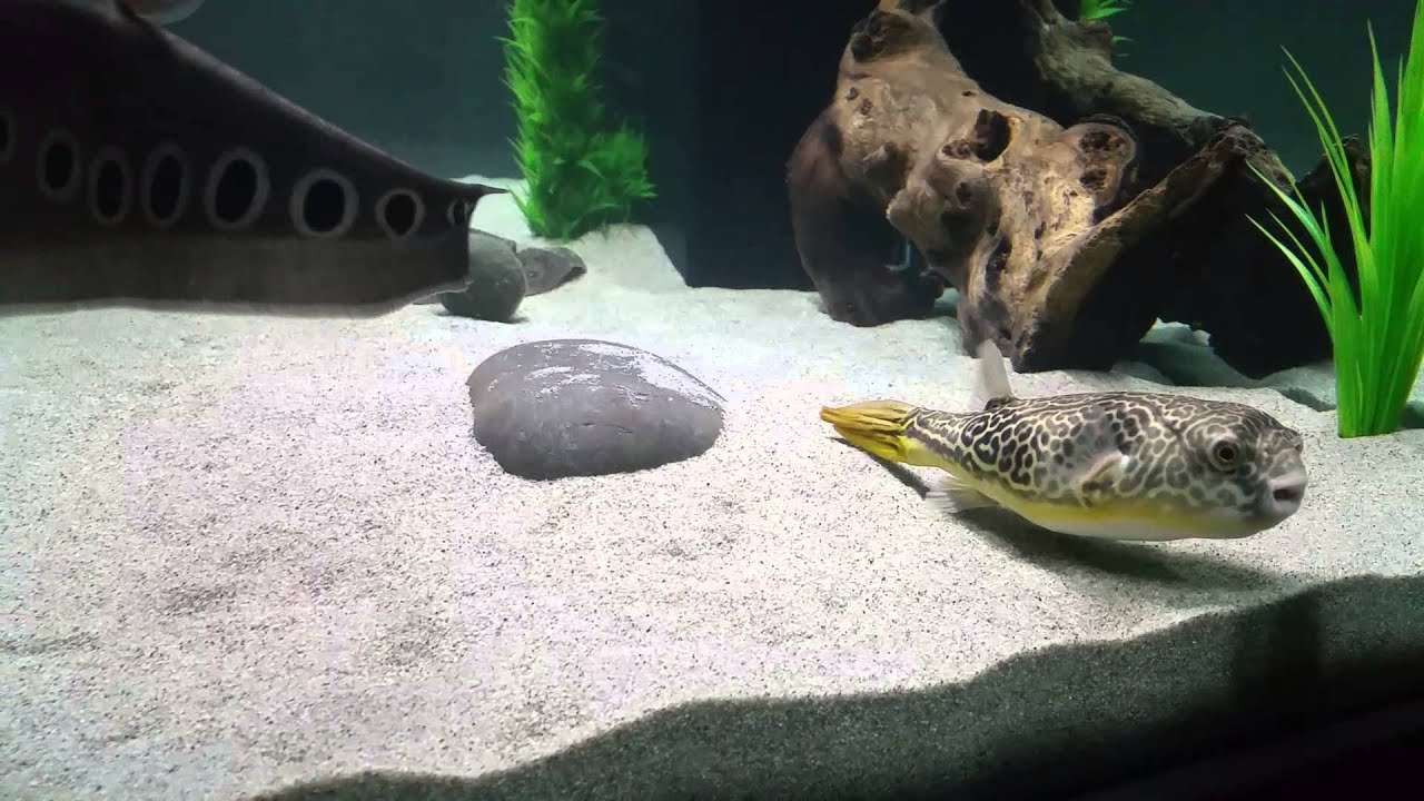 Freshwater predator aquarium youtube for Too cool fishing