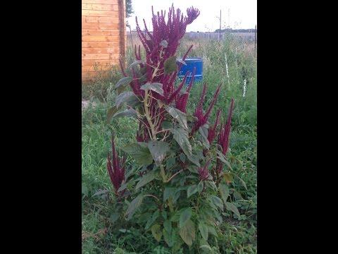 Амарант и его выращивание - Чудо-огород