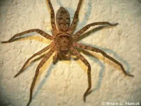 incy wincy spider indian version