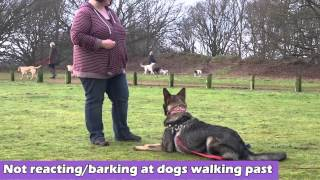 Clicquot - On Lead Aggressive German Shepherd - 4 Week Residential Dog Training At Adolescent Dogs