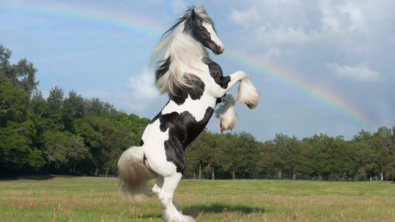 Latchos Tamborine Gypsy Vanner Horse Stallion
