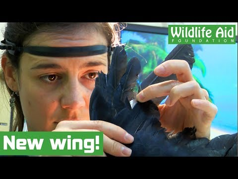 Crow's New Wing Lets It Fly Once More! - Animal Rescue