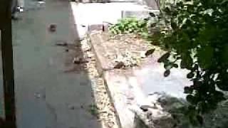 Beagle X Pug. Destroyed Backyard