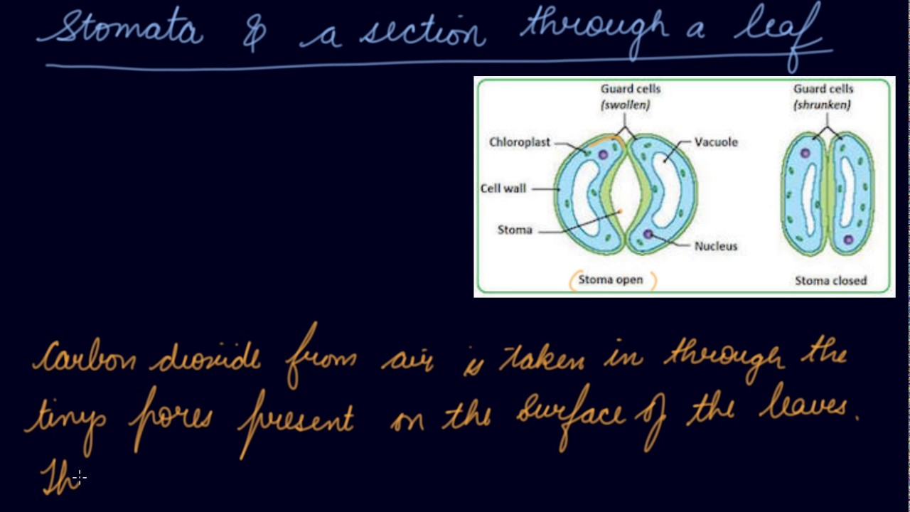 Stomata & a Section Through a Leaf | Class 7 Biology Nutrition in Plants